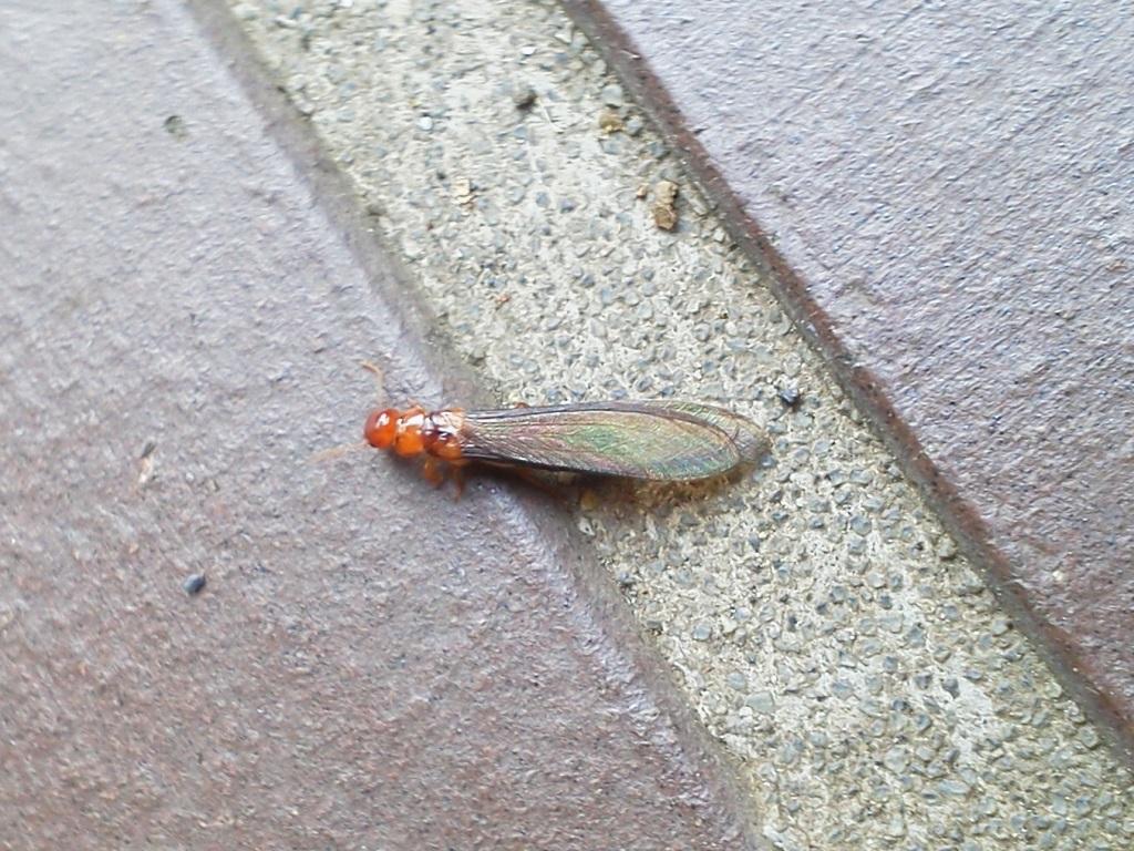 気温の急上昇とともに現れる羽蟻の群れ、正体はシロアリ?
